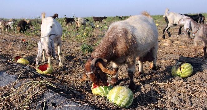 Karpuz tarlada kaldı, keçilere yem oldu